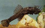 Pencost : Faites confiance à nos éleveurs de poissons pour vos achats de ancistrus cirrhosus