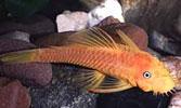 Pencost : Faites confiance à nos éleveurs de poissons pour vos achats de ancistrus l144