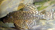 Pencost : Faites confiance à nos éleveurs de poissons pour vos achats de ancistrus temminckii