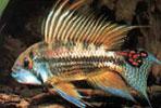 Pencost : Faites confiance à nos éleveurs de poissons pour vos achats de apistogramma cacatuoides