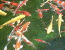Pencost : Faites confiance à nos éleveurs de poissons pour vos achats de carpes koi