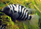 Pencost : Faites confiance à nos éleveurs de poissons pour vos achats de cichlasoma nigrofasciatum