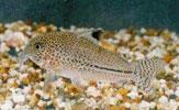 Pencost : Faites confiance à nos éleveurs de poissons pour vos achats de corydoras julii