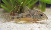 Pencost : Faites confiance à nos éleveurs de poissons pour vos achats de corydoras paleatus