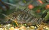 Pencost : Faites confiance à nos éleveurs de poissons pour vos achats de corydoras sterbai