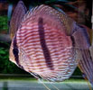 Pencost : Faites confiance à nos éleveurs de poissons pour vos achats de discus heckel
