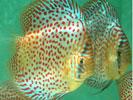 Pencost : Faites confiance à nos éleveurs de poissons pour vos achats de discus leopard