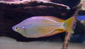 Pencost : Faites confiance à nos éleveurs de poissons pour vos achats de melanotaenia splendida inornata