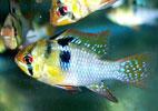 Pencost : Faites confiance à nos éleveurs de poissons pour vos achats de microgeophagus ramirezi