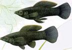 Pencost : Faites confiance à nos éleveurs de poissons pour vos achats de molly