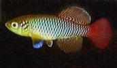 Pencost : Faites confiance à nos éleveurs de poissons pour vos achats de nothobranchius guentheri