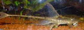 Pencost : Faites confiance à nos éleveurs de poissons pour vos achats de sturisoma aureum